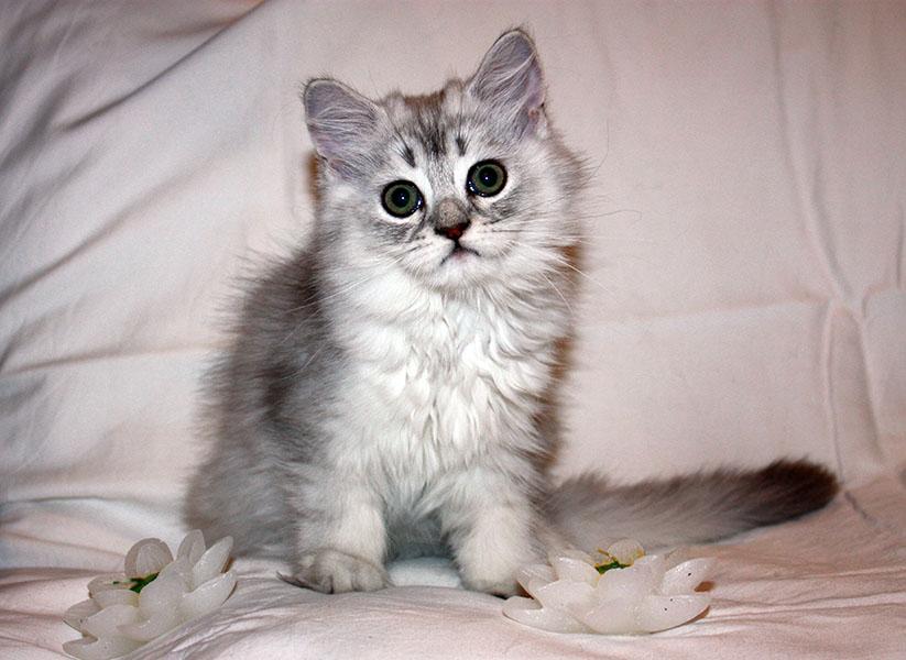 Кошка для выставки