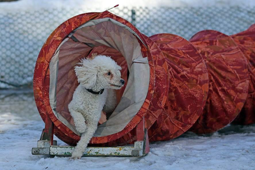 Аджилити для небольших собак
